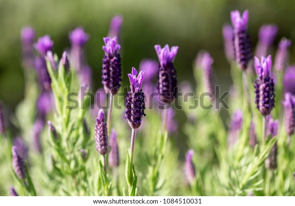 Close up of French lavender, Lavandula stoechas, growing in a herb nursery with shallow depth of field