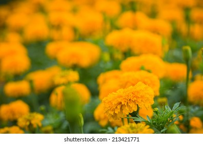 close up french marigold flower