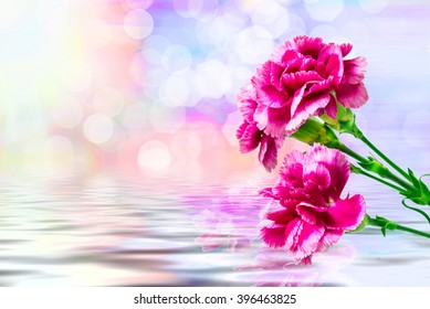 Close up of fresh beautiful carnation flower