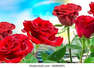 Close up of fresh beautiful rose flower