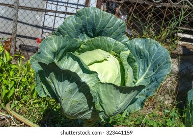 Close up of fresh cabbage in the garden