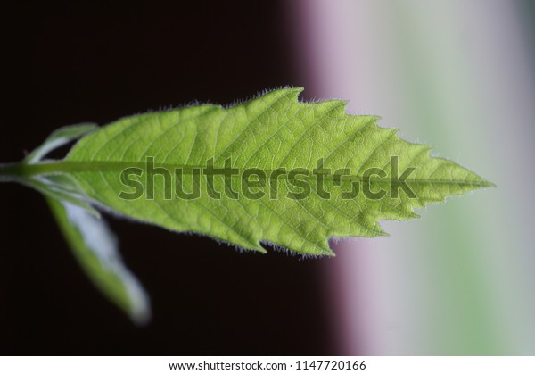 close up of a fresh chestnut leaf