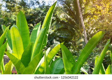 Close up of fresh green banana leaves growing in fruit plantation