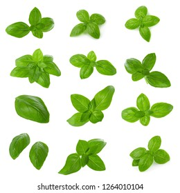 Close up of fresh green basil herb leaves isolated on white background. Sweet Genovese basil set.