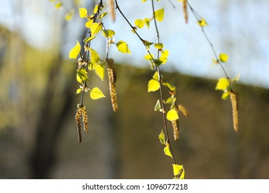Close up of fresh green leaves of a birch in early summer