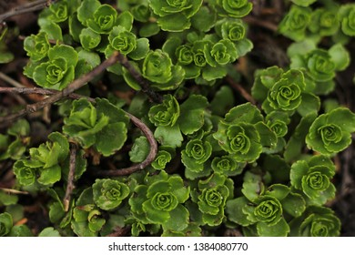 close up fresh green new growth liverwort covering garden bed