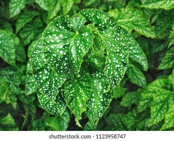 Close up Fresh Green Plants with White Dotted Leaves