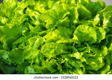 Close up of fresh lettuce leaves