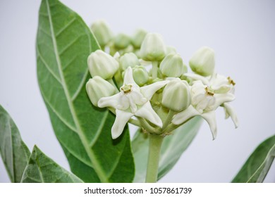 White flowers meaning images stock photos vectors shutterstock close up fresh nature of calotropis giantea white crown flowers blooming on tree is rich mightylinksfo
