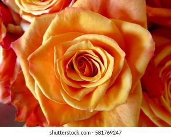 Close up of fresh orange rose background