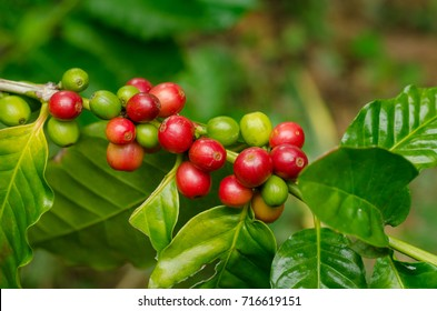Close up fresh organic red raw and ripe coffee cherry beans on tree plantation