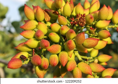 close up of  fresh pistachio nuts on a branch