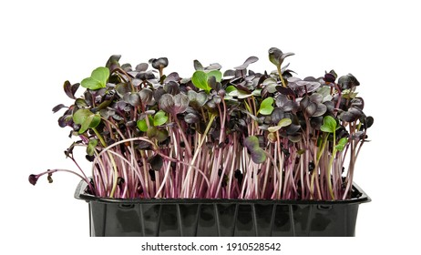 Close up fresh purple radish microgreen sprouts in black plastic sprouter tray isolated on white background, low angle view