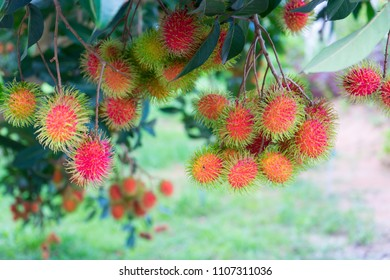 Close up fresh rambutans with green leaf on the tree in the garden, Chanthaburi, Thailand