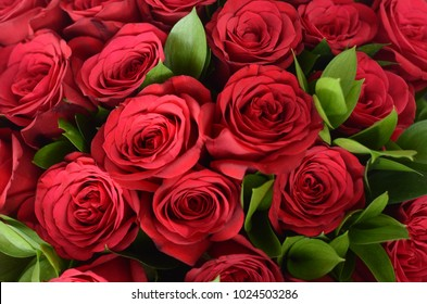 Close up of fresh red rose flower, love and valentine concept