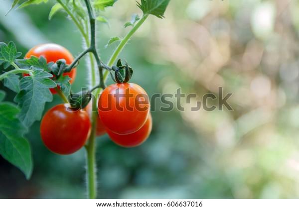 植物の上の新鮮な赤いトマトの接写。