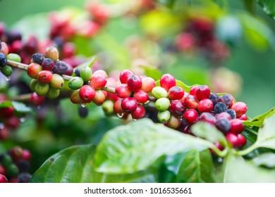 close up fresh Ripe coffee berries on tree