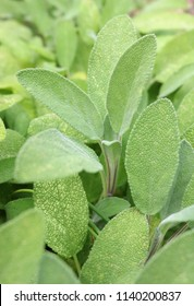 Close up of fresh sage leaves growing in a herb garden.