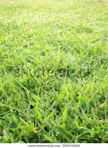 Close up of fresh thick grass with water drops in the early morning
