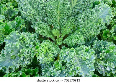 Close up of fresh vates  blue curled kale in the garden