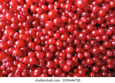 A close up of fresh wet juicy ripe redcurrants and red berries