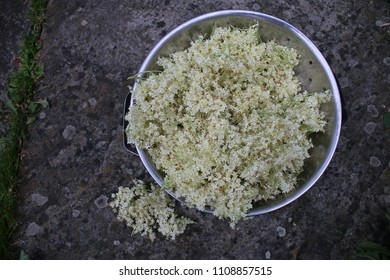 Close up of freshly foraged edible elderflower heads from english hedgerow in metal colander against rustic grey stone background prepared home made cordial champagne drinks view above looking down