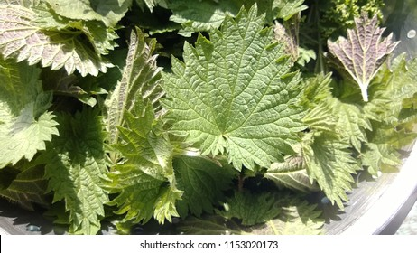 Close up of freshly foraged nutritious edible wild plant stinging nettle and kale green healthy leaves full ripe ready for making into soup from English countryside in summer in metal colander bowl