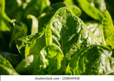 Close up of freshly watered lettuce plants with water droplets in a field on the fertile banks of Niger river close to Niamey