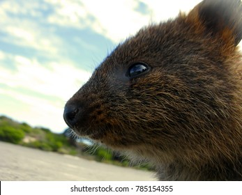 Close up of a friendly ambitious quokka about to embark on a great adventure