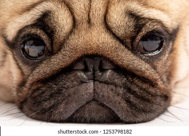 Close up friendly dog pug face looking in camera,Healthy purebred dog feeling so happiness and enjoy