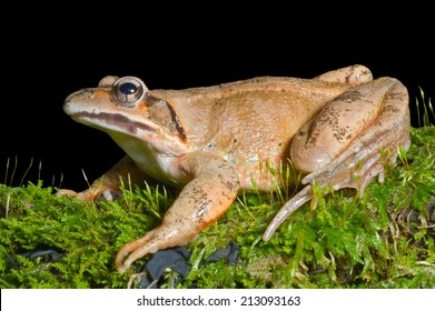 A close up of the frog on green moss. Isolated on black.