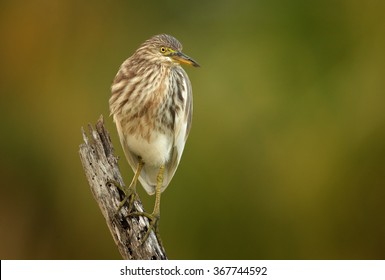 Close up front photo of wading bird Indian Pond-heron Ardeola grayii in beautiful light, perched on old stake. Art view. Bright yellow eyes.Abstract blurred green and brown background. Sri Lanka.