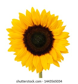 Close up front side of yellow blooming sunflower without leafs. Isolated on white background.