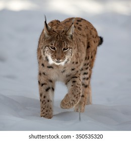 Close up front view of Eurasian Lynx Lynx lynx in winter in the movement on snowy ground.