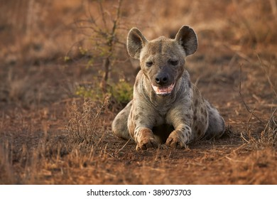 Close up front view of  Spotted hyena, Crocuta crocuta lying on the ground  with mouth ajar  in Kruger National Park, South Africa.