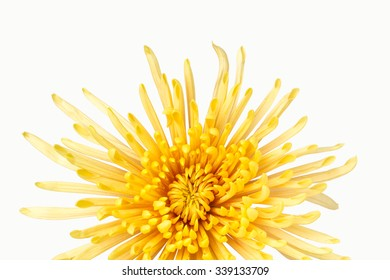 Close up front view of yellow  chrysanthemum flower with white background.