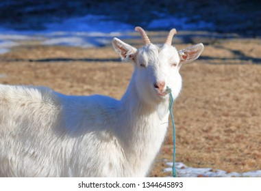 Close, frontal view of a Saanen goat, a Swiss breed of domestic animal bred for its milk, as she stands in the pasture.