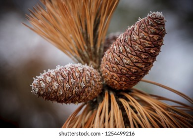 A close up of frost layered on two pine cones.