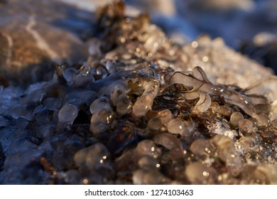 Close up of frozen Bladderwrack partly inside ice on shore in Helsinki, Finland by the Baltic Sea