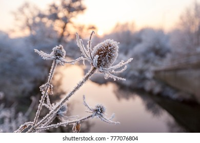 Close up of Frozen Teasel Plants beside a River in England, UK