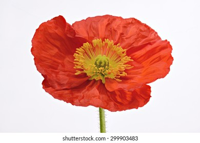 Close up Full bloom Orange Poppy Flower Isolated on white background, studio shot, large Depth of Field