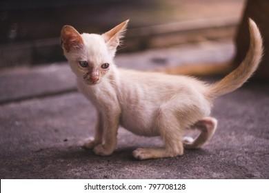 close up full body of  little dirty skinny white kitten.