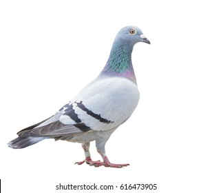 close up full body of speed racing pigeon bird isolate white background
