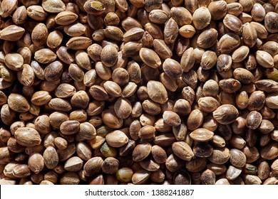 Close up full frame macro photo of hemp seeds. Seeds of cannabis. horizontal