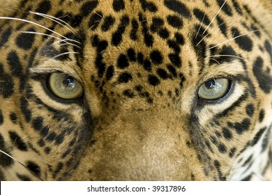 close up full frame penetrating eyes of a central american jaguar or panthera onca, pantanal, brazil, south america , beautiful exotic big cat or feline similar to leopard