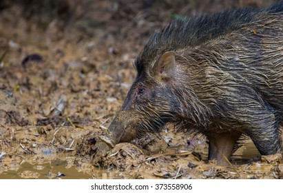 Close up full frame side view of Wild boar(Sus scrofa) in real nature at at  Kengkracharn national park,Thailand