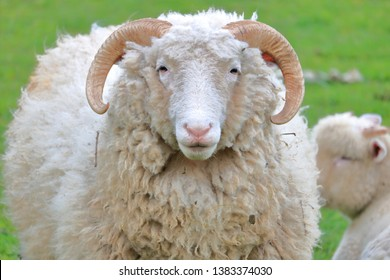 Close, full front view of an all white sheep with horns facing camera while standing in the pasture.