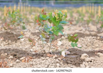 Close full view of a blueberry bush seedling after it has been established, planted and watered.
