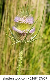 Close up of a Fuller's Teasel flower that is just starting to bloom. Todmorden Mills Park, Toronto, Ontario, Canada.