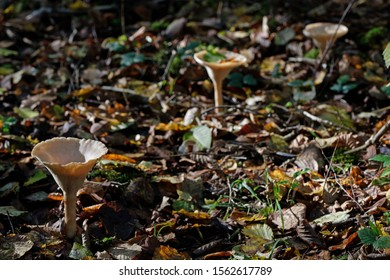 Close up of fungus (Clitocybe geotropa). Low depth of field (low depth of field)